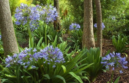 Kimberley Park, Falmouth home to  Agapanthus plants