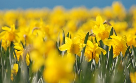 Fields of daffodils, a colourful sight in the fields around Falmouth before Easter